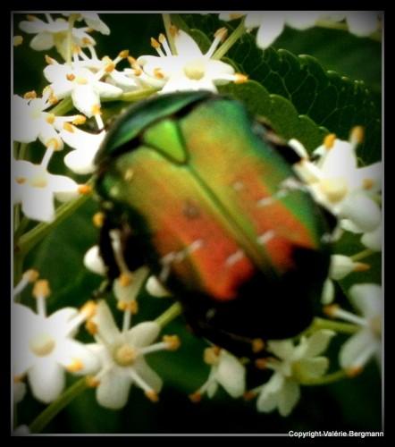 photos, coquelicots, nature, scarabée,les chanaux, couleurs