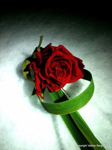 photo, rose, rouge, neige, pétales, fleur