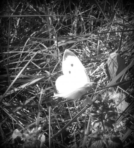 photographie,papillon,prise de vue,ailes,zoom,nature,les chanaux,coeur