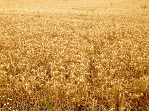 Photo, champ de blé, semence, récolte, moisson, nature, céréales, campagne, drôme