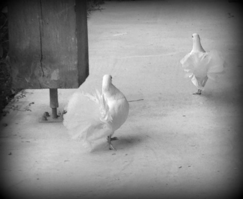 colombes,oiseaux, symbole, ailes, blanches, animaux, drôme