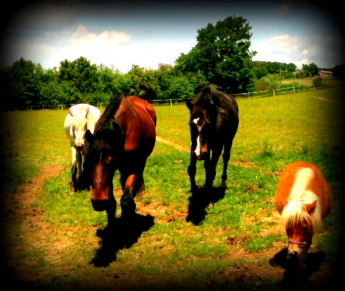 photo, chevaux, pré, nature, poney, gemini, hipos, bobine, cache-cache-cache, campagne,les chanaux, crest, drôme