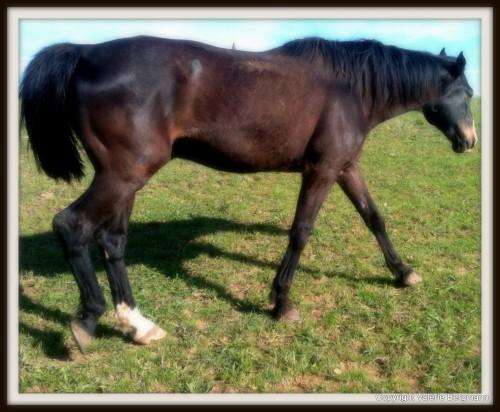photo, chevaux, gemini, hypos, champ, les chanaux, drôme