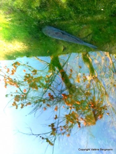 plaqueminier, eau, reflet, couleurs, illusion d'optique