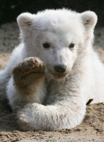ours, allemagne, polaire, mort, beauté