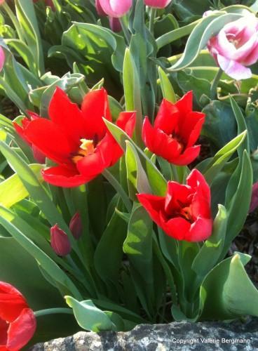photo, grotte, ciel, tulipe, couleurs, fleurs