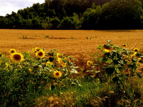 photo, nature, blés, tournesol, arbres, couleurs, campagne, drôme, moisson