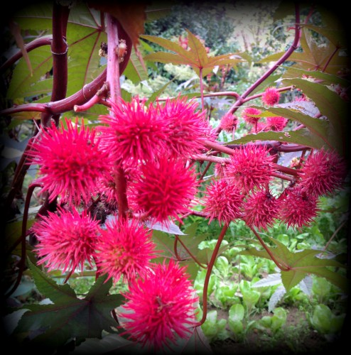 plante, ricinier, pompons, couleurs, feuilles, exotique, ricin, palme, fleurs, nature, les chanaux