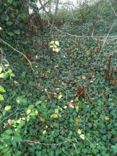 lierre,plante,sauvage,poème,photo