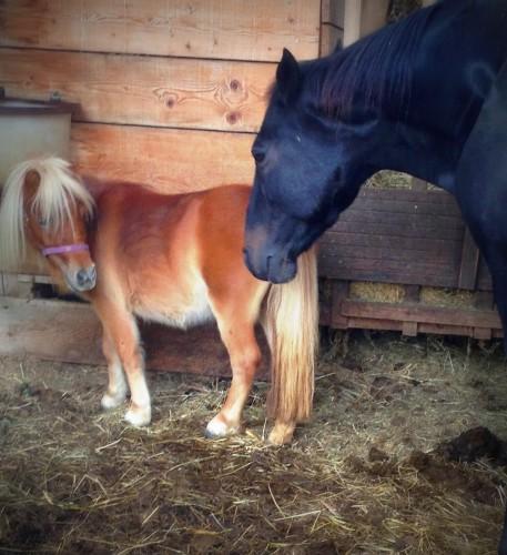 photos, animaux, crest, poney, cheval, les chanaux, bobine, hipos