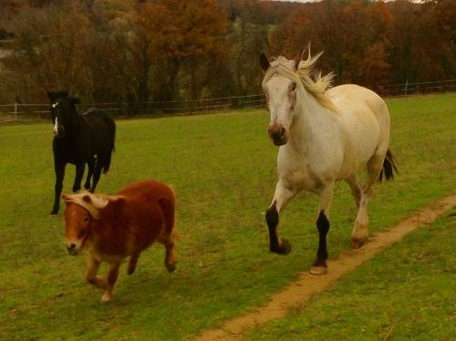 photos, chevaux, hippys, gemini, bobine, Drôme, nature, animaux, campagne, pré, automne