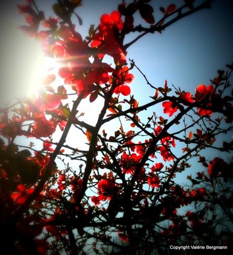 photos,paysages,nature,drome,les chanaux,fleurs,arbres,prunier,lierre,feuilles