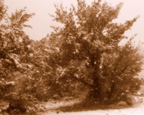 photo,art,neige,couronne,laurier,paysage,arbres,météo,les chanaux,crest,drôme