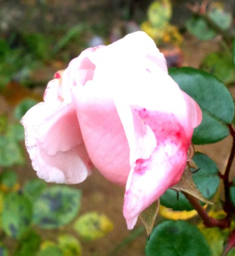 rose, sauvage, nature, bouton, éclat, photo