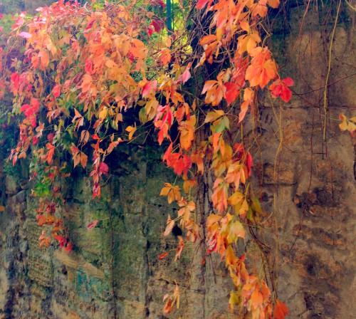 photo, feuilles, platane, arbres, vigne,automne, vierge, grimpante, Drôme, paysage, couleurs, teintes, pourpre