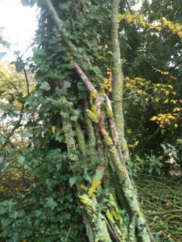lierre, plante, sauvage, poème,photo