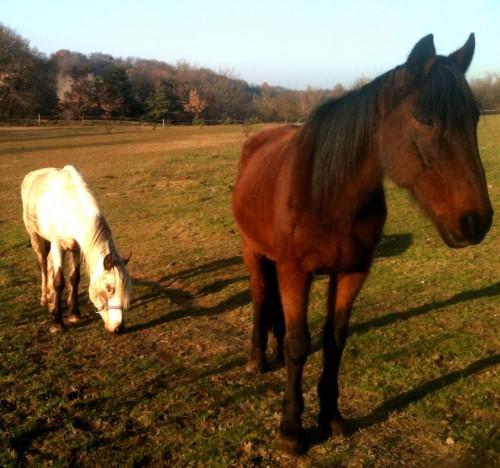 photo, animaux, amours, chevaux, poney, bobine, gemini