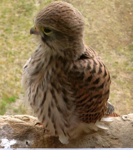 photo, éperviers, rapaces, bébés, oiseaux, animaux, nature, nid, fenêtre, plumage, bec