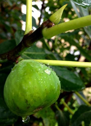 photos, figue, feuilles, gouttes, pluie, verdure, nature, les chanaux,