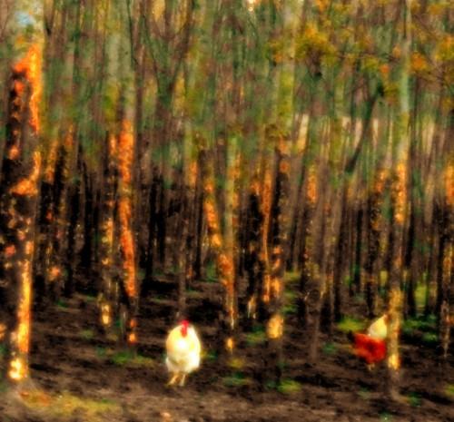 photo, insolite, forêt, poules, cocottes, arbres, Drôme, lumières