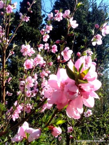 photo, paysages, ciel, tulipe, fleurs, arbres,prunier