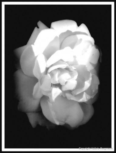 photos, roses, fleurs, rosiers,Les chanaux, nature, couleurs