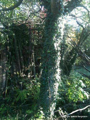 photo,soleil,lierre,nature,pins,bambou,lumière,rayon